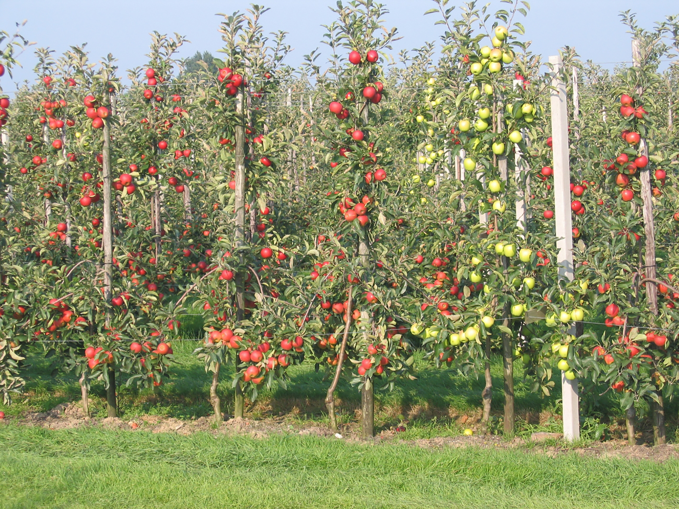 Intensive_apple_orchard2